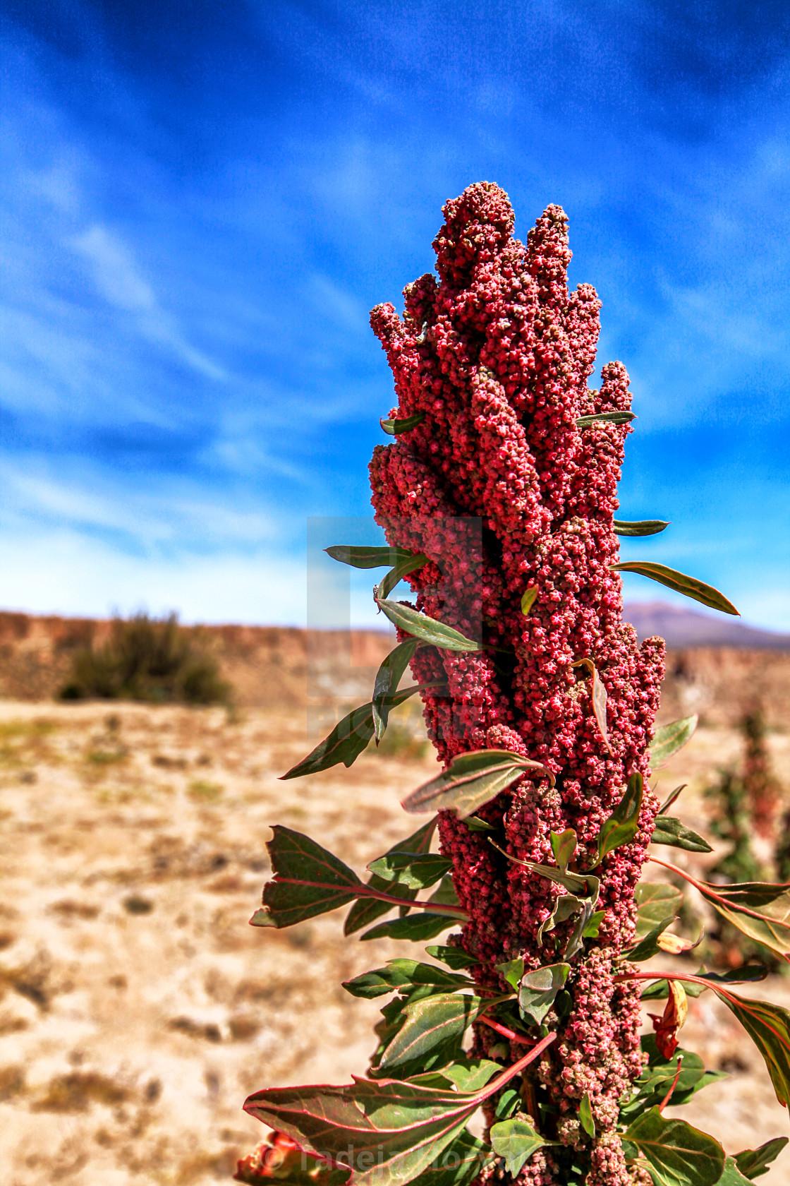 """""""Quinoa"""" stock image"""