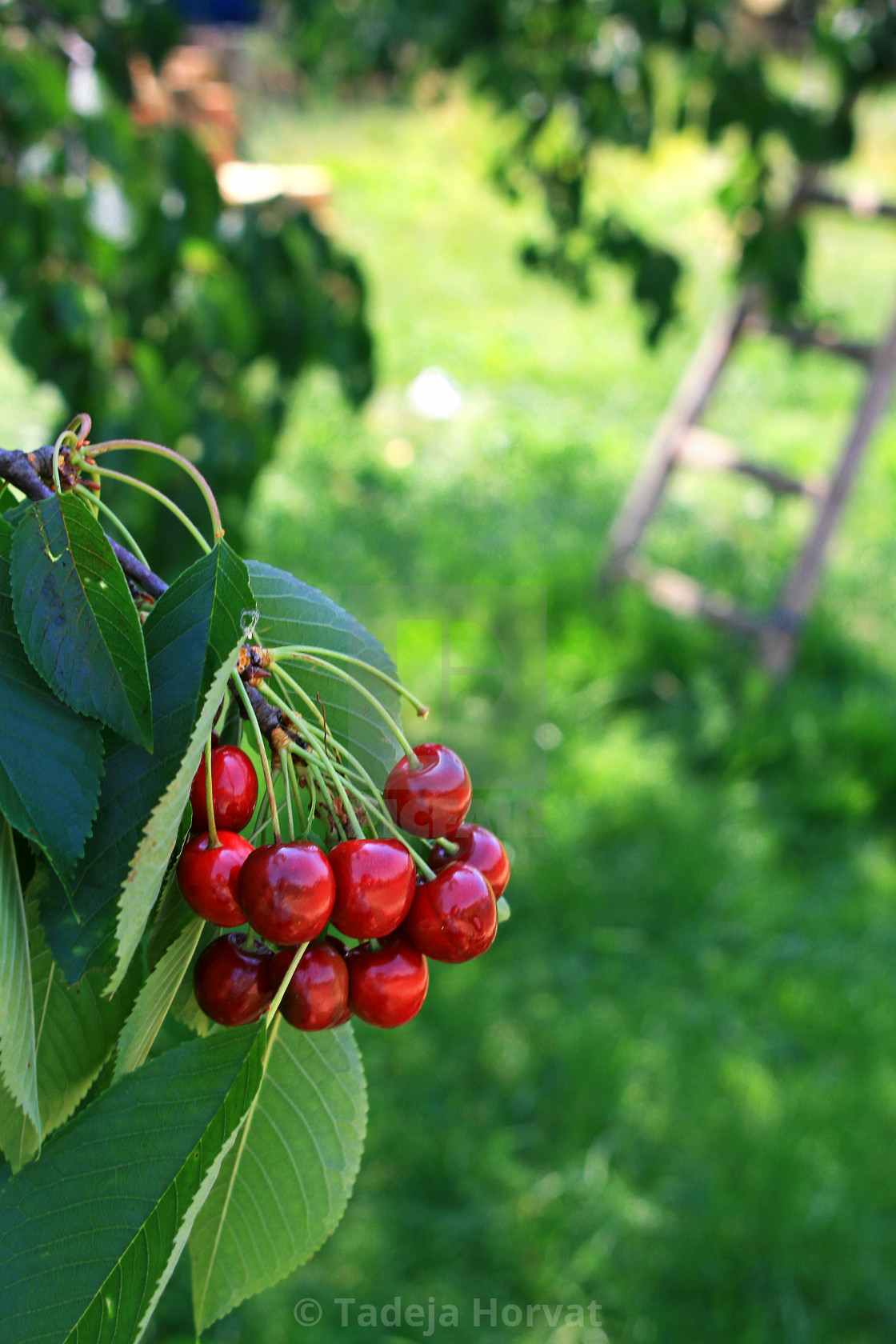 """Cherry fruit on tree"" stock image"