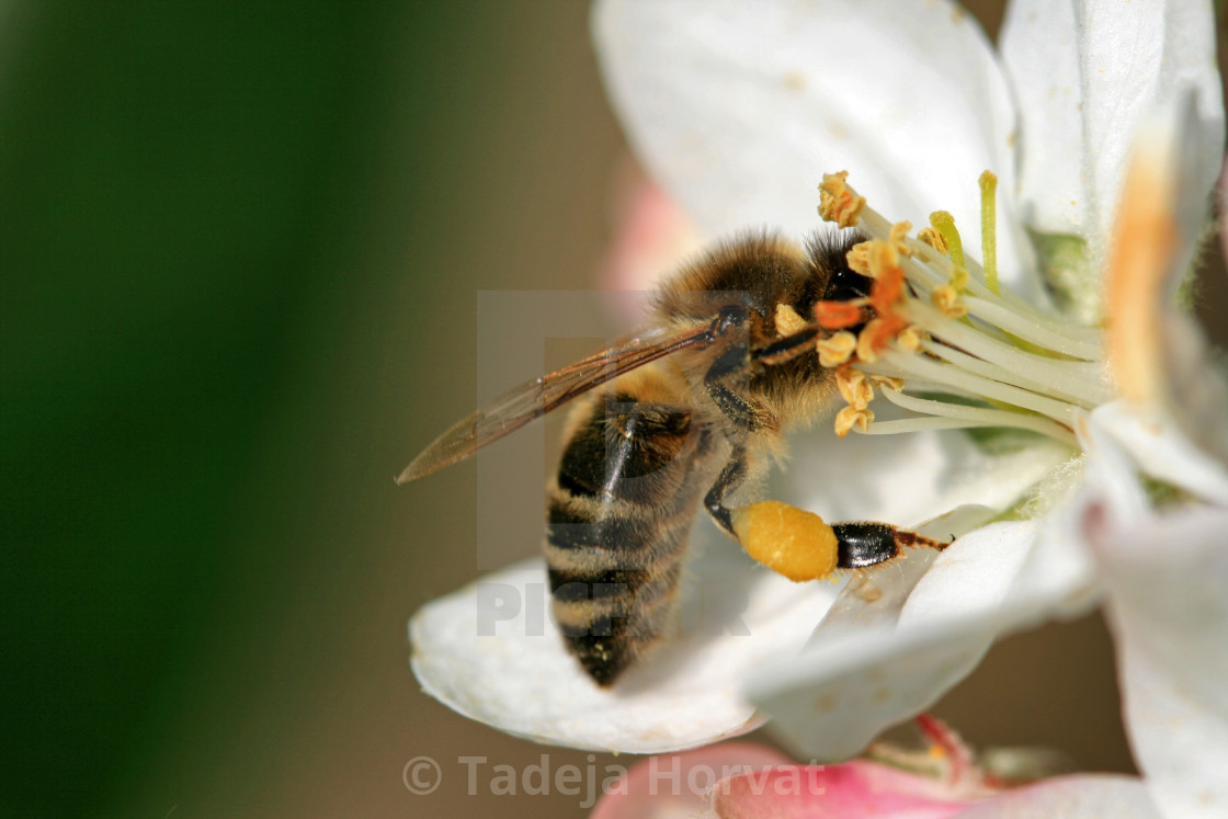"""Bee foraging"" stock image"
