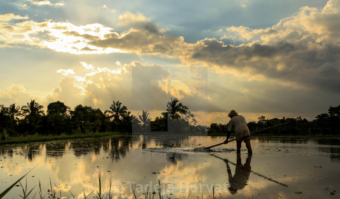 """Worker in Tegallalang rice terrace"" stock image"