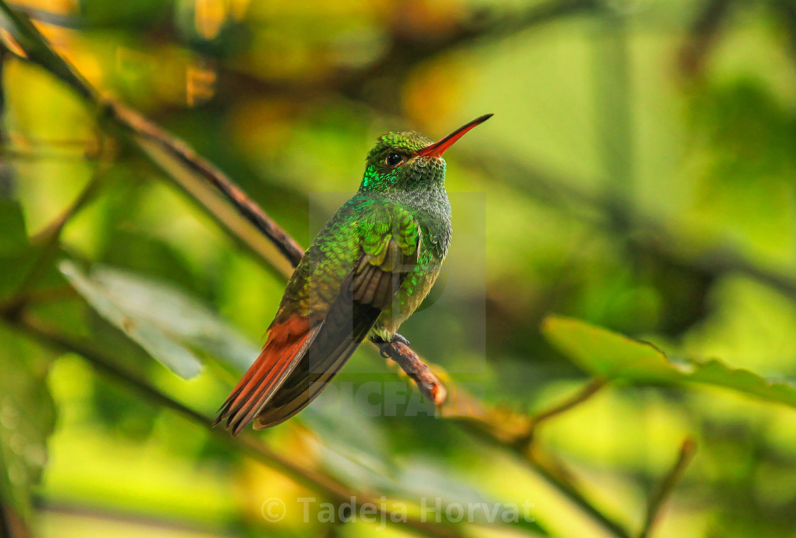 """Rufous-tailed Hummingbird"" stock image"