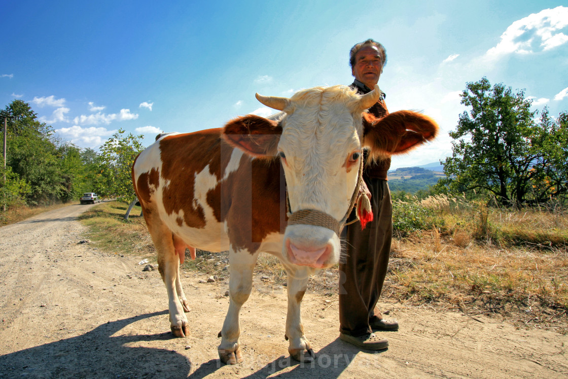 """Cowherd in Serbia"" stock image"