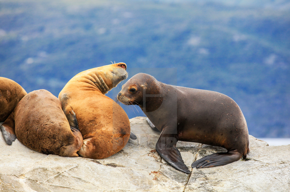 """Sea Lions"" stock image"