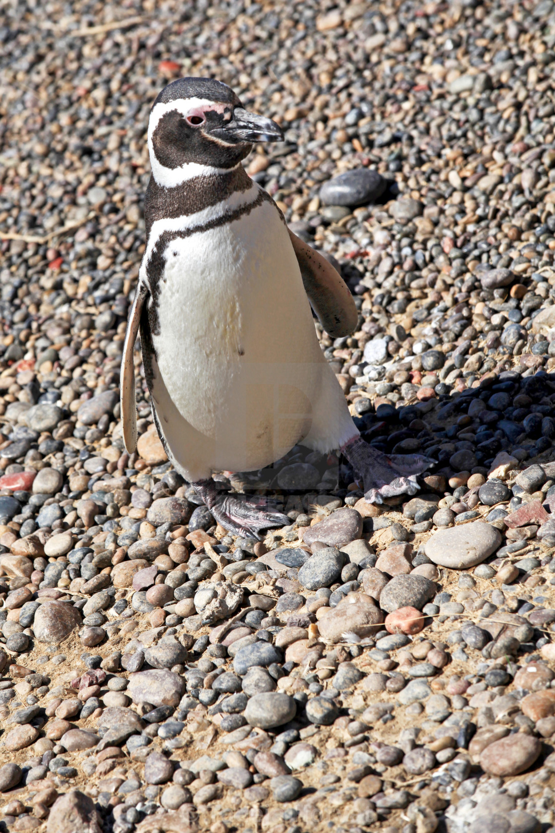 """Magellanic penguin continental colony"" stock image"