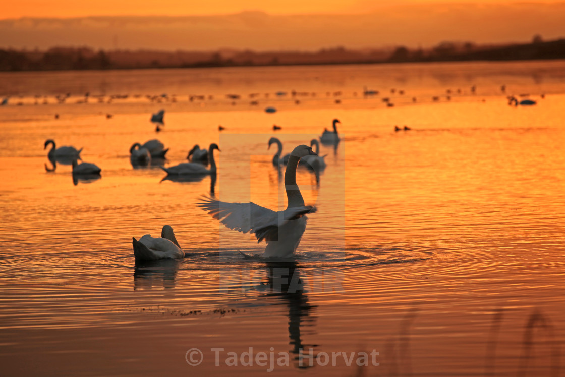 """Swans at sunset"" stock image"