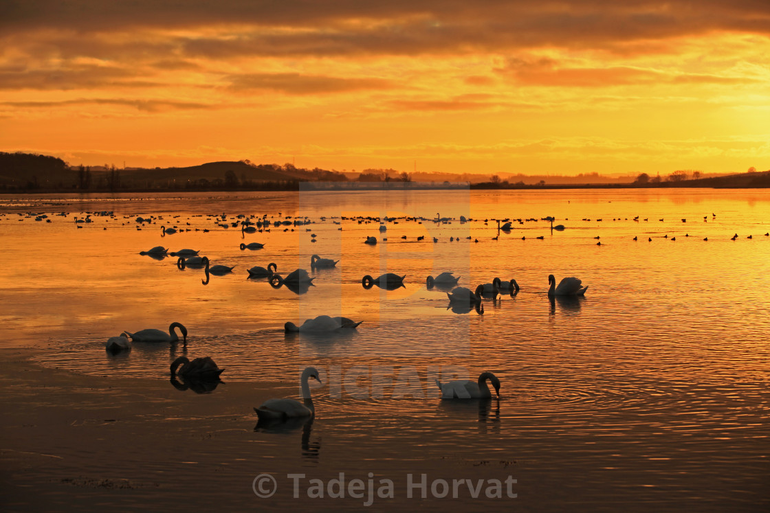 """Swans Sunset Swimming"" stock image"