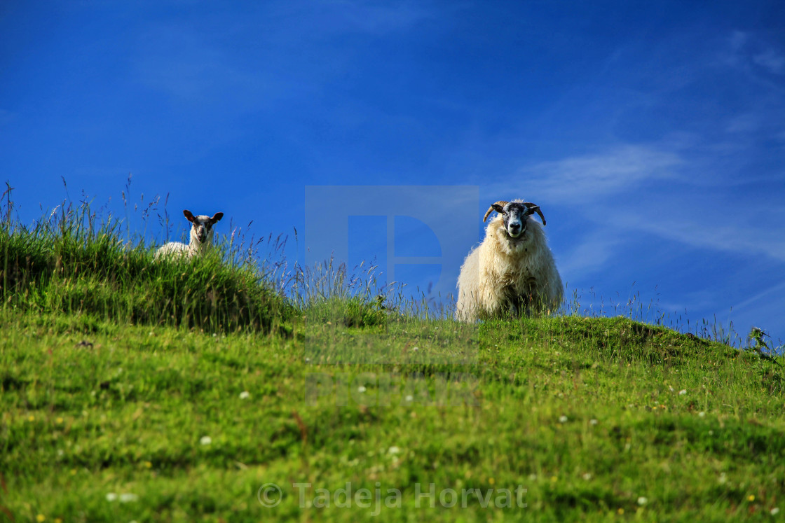 """Sheep"" stock image"