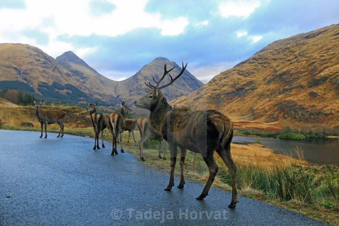 """Wild Stag and deers in Glen Etive"" stock image"