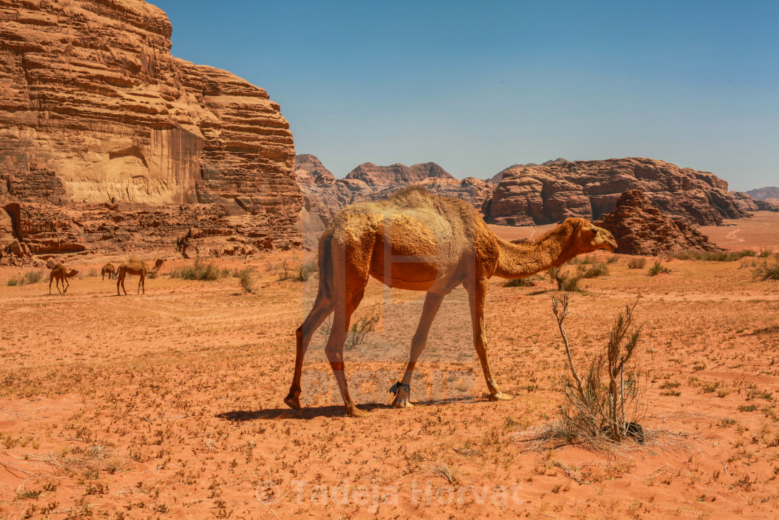 """Camels in the Wadi Rum desert"" stock image"