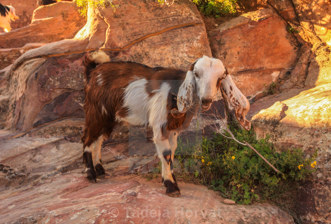 """Goat in petra"" stock image"