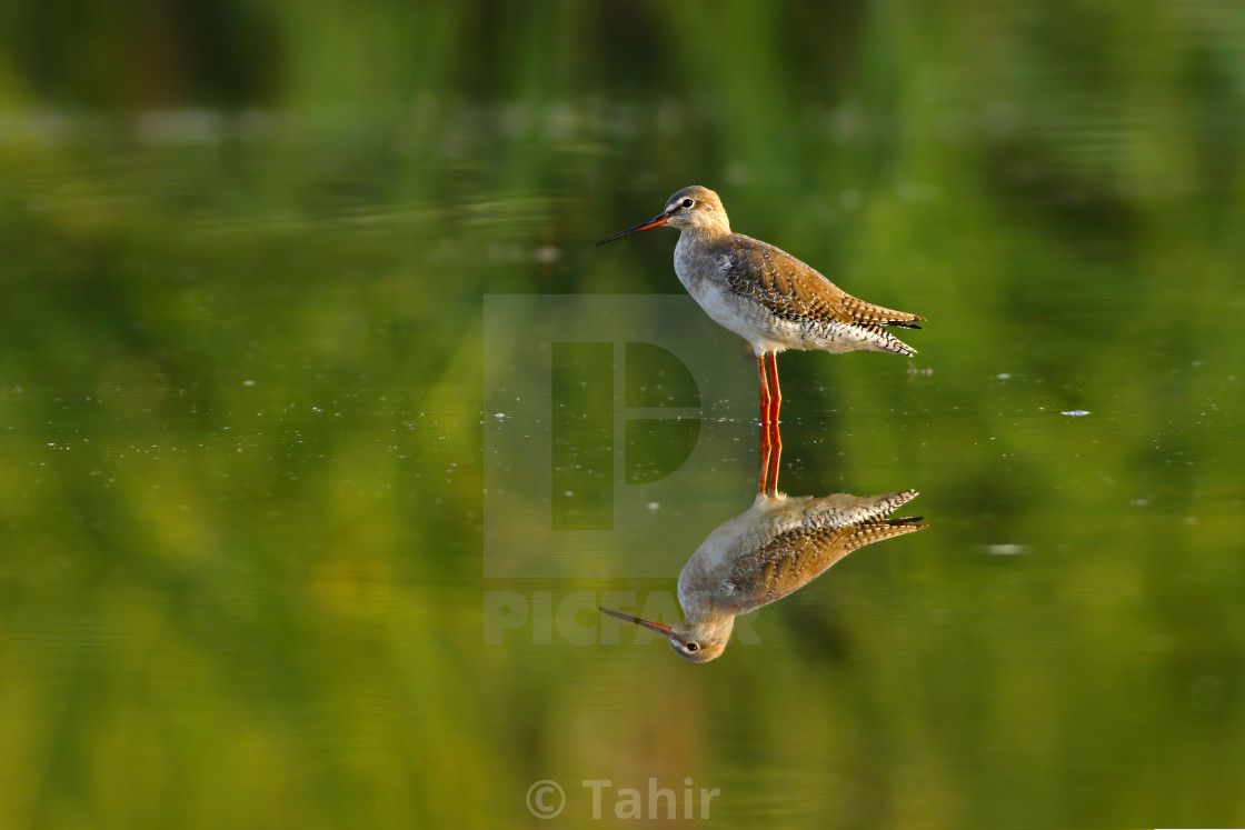 """Spotted Red shank"" stock image"