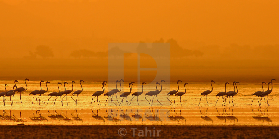 """Greater Flamingo ( Phoenicopterus roseus)"" stock image"