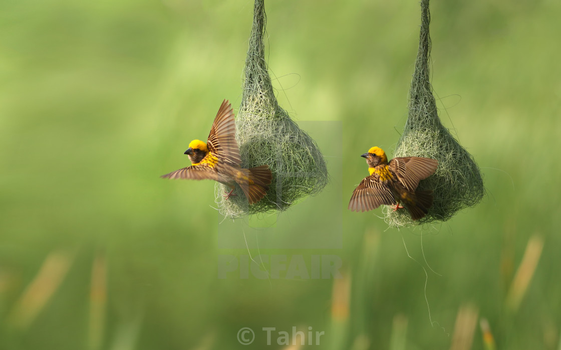 """weaver bird"" stock image"