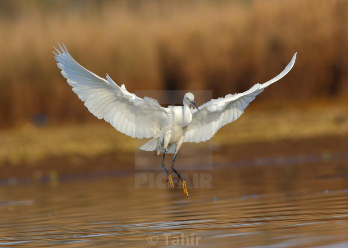 """""""Little egret landing"""" stock image"""