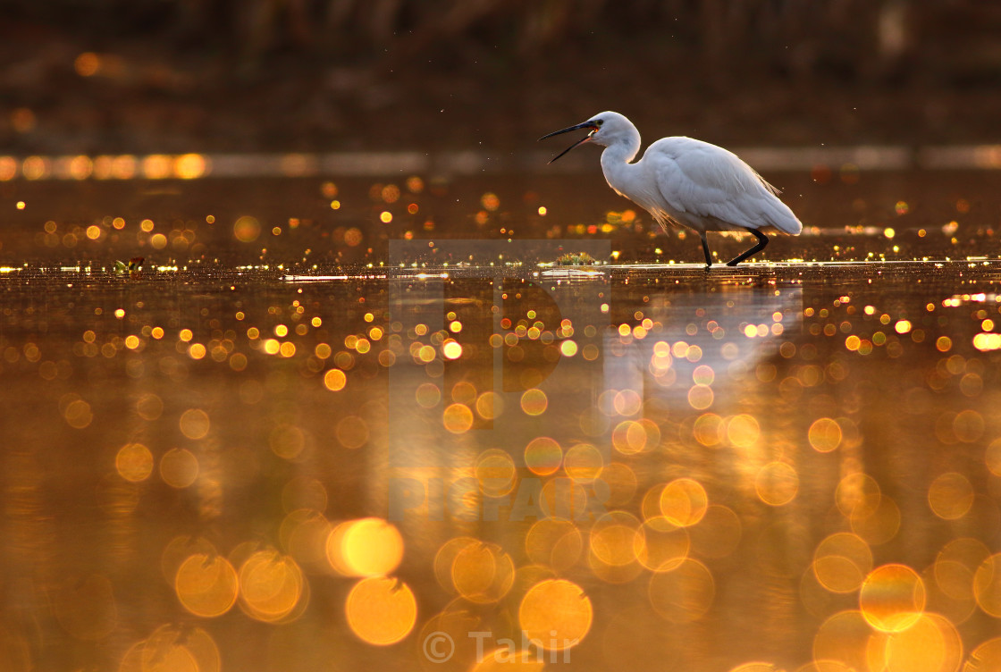 """Hunting in Pond of bokeh"" stock image"
