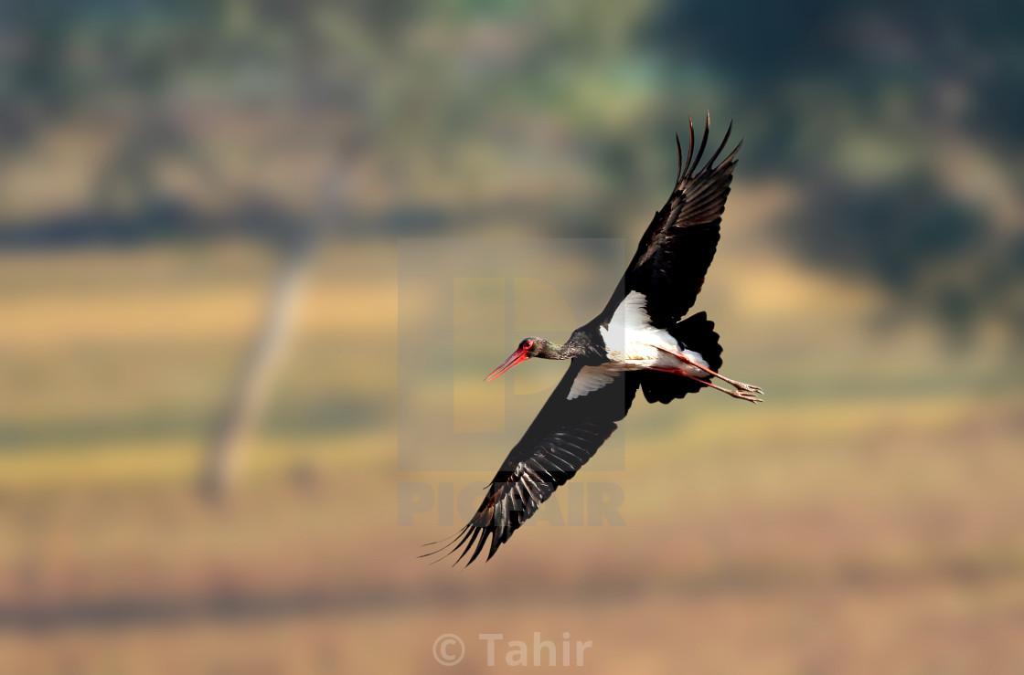 """Black Stork"" stock image"