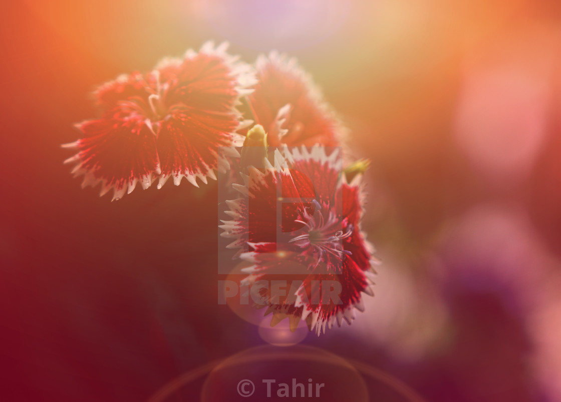 """Vintage photo of beautiful wild flower"" stock image"
