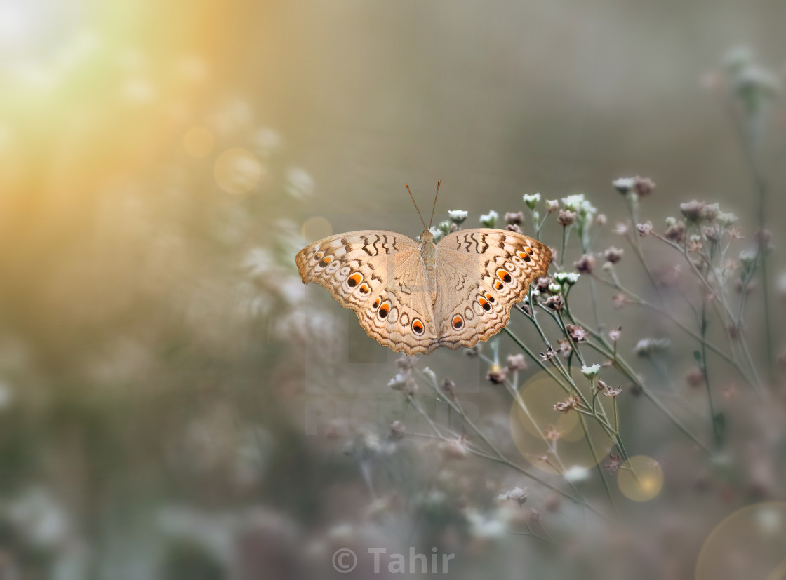 """""""Grey Pansy Butterfly"""" stock image"""