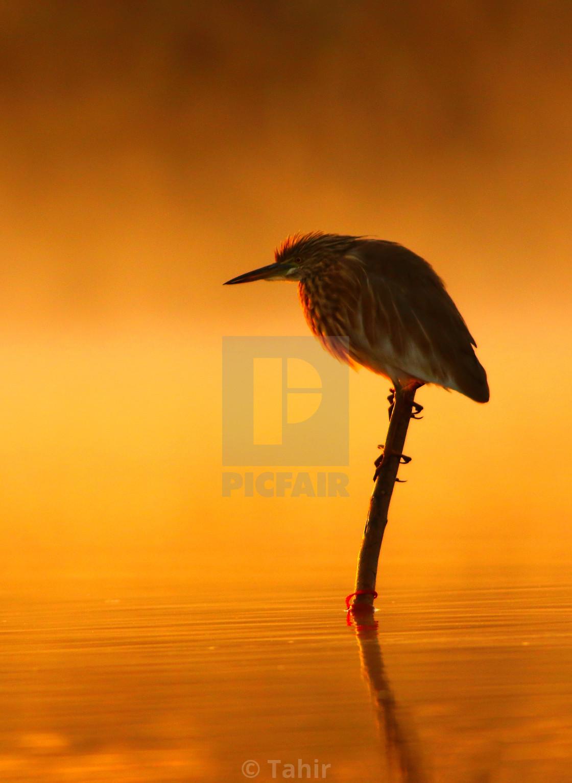 """Indian pond heron At Sunrise"" stock image"