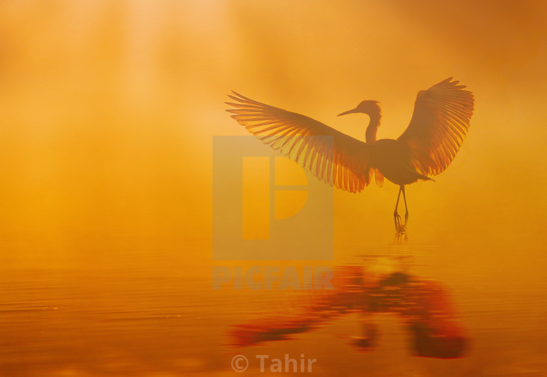 """Beautiful bird Dancing in lake at sunrise in Misty morning"" stock image"