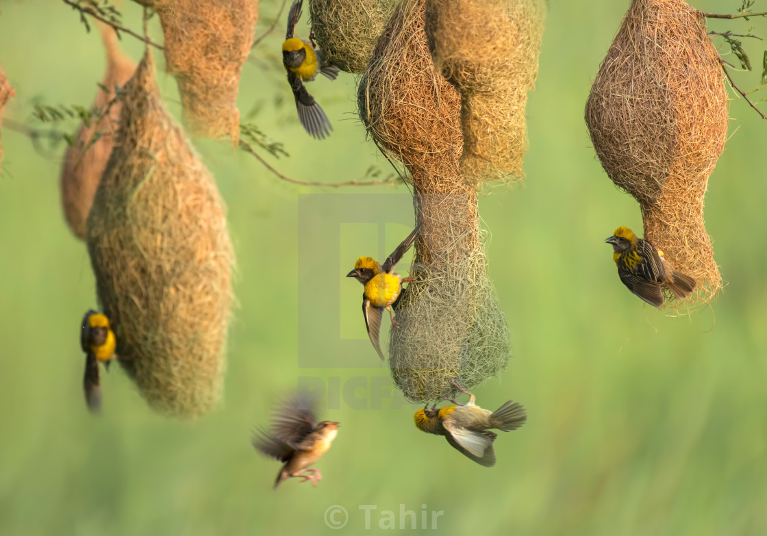 """Male Baya weaver (Ploceus philippinus) Attracting female bird in Nesting Colony"" stock image"