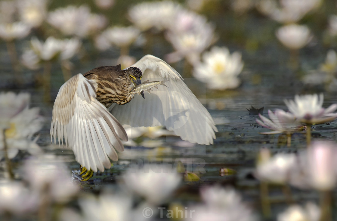"""Indian Pond heron Fishing in Pond"" stock image"