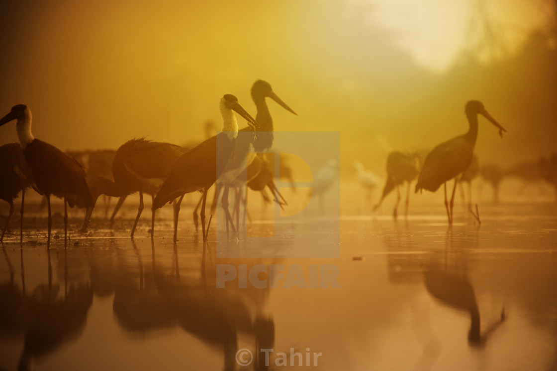 """Woolly necked stork fishing at sunrise"" stock image"