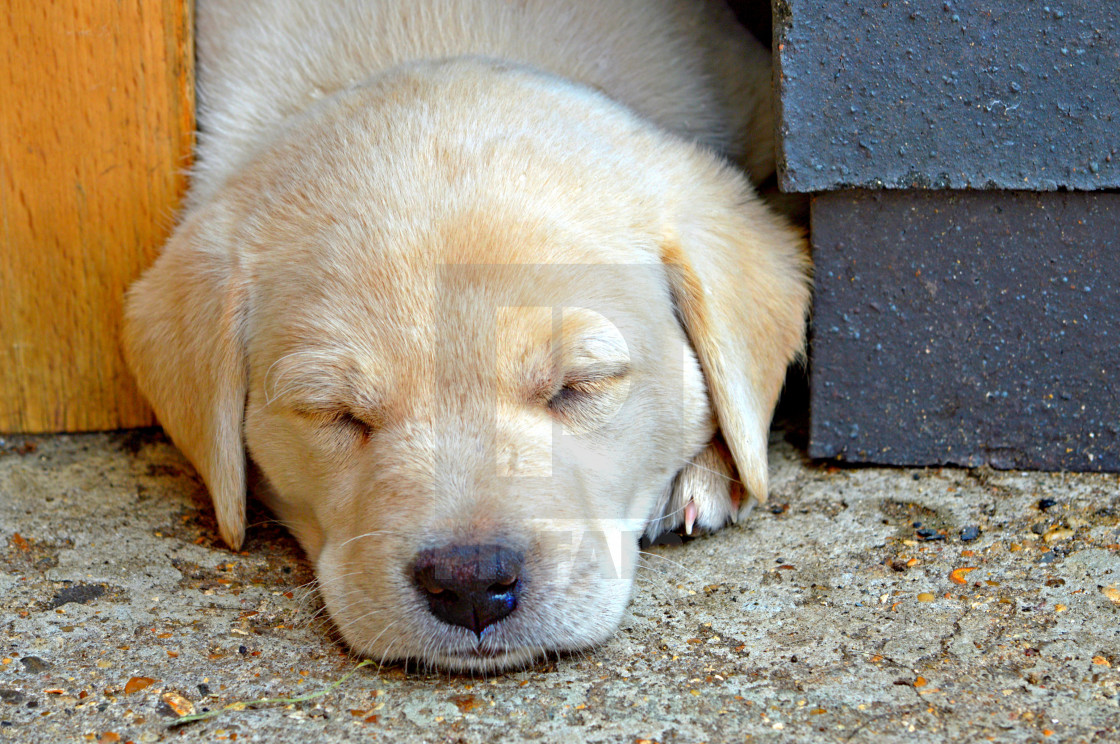 """Sweet Dreams - Labrador Puppy"" stock image"