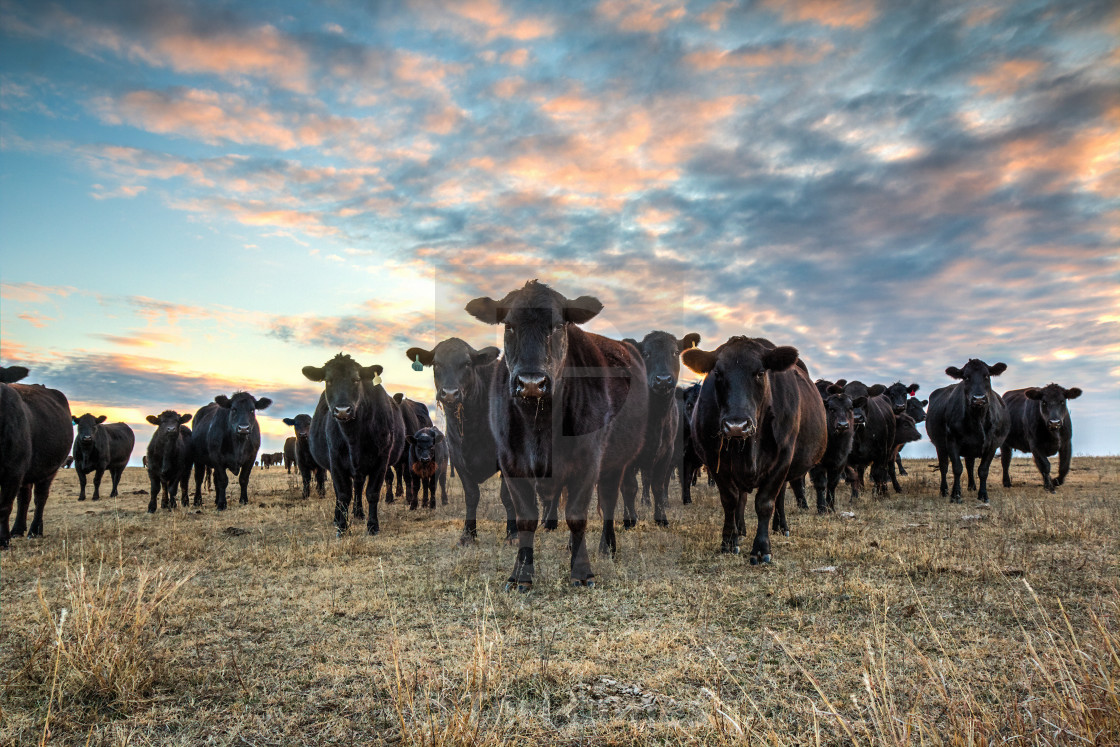 """Black Angus cattle at sunset"" stock image"
