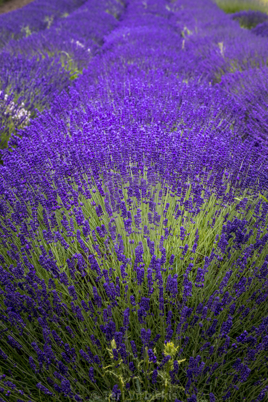 Blooming Lavender Fields In Pacific Northwest Usa License