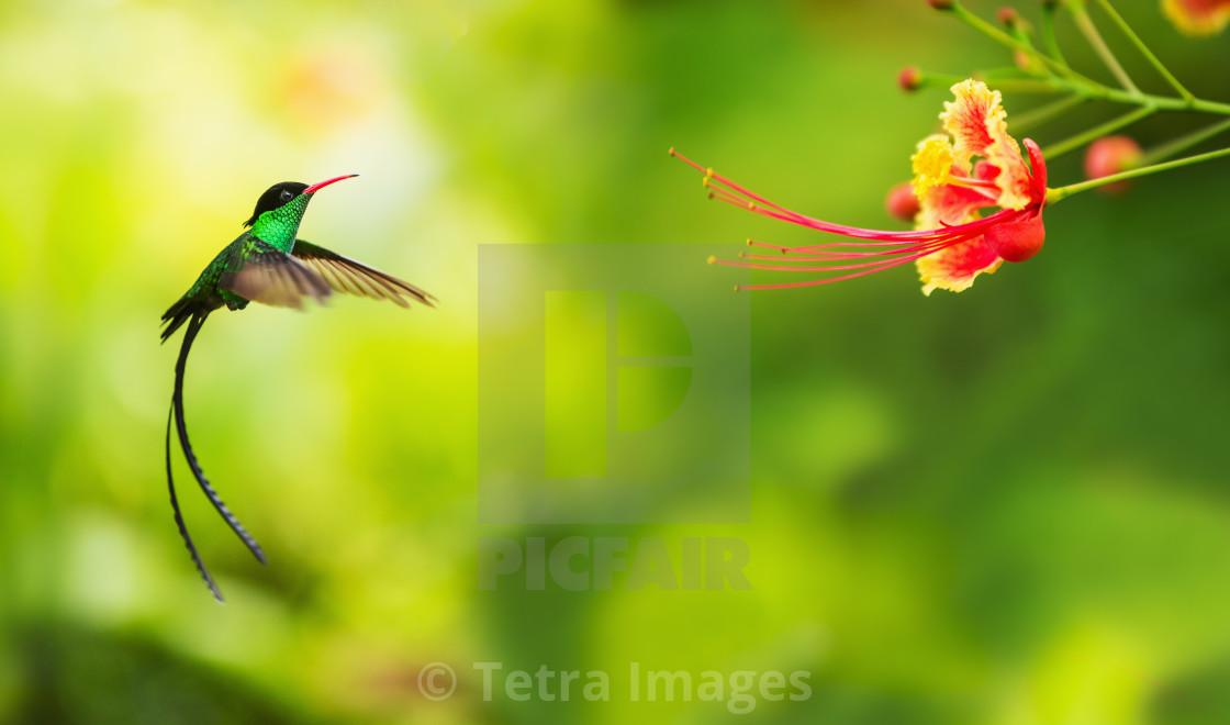 """Hummingbird in flight"" stock image"