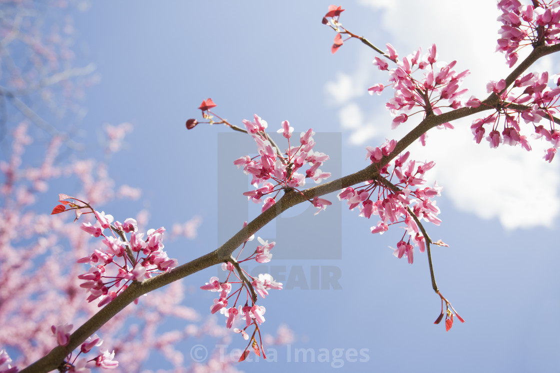 Eastern Redbud Tree License Download Or Print For 37 20
