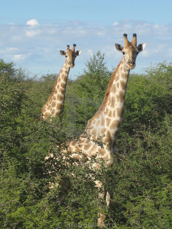 """Giraffes, Namibia"" stock image"