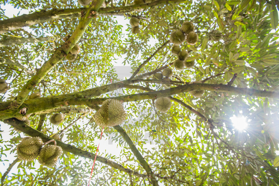 durian tree in the farm, Thai King fruit - License, download