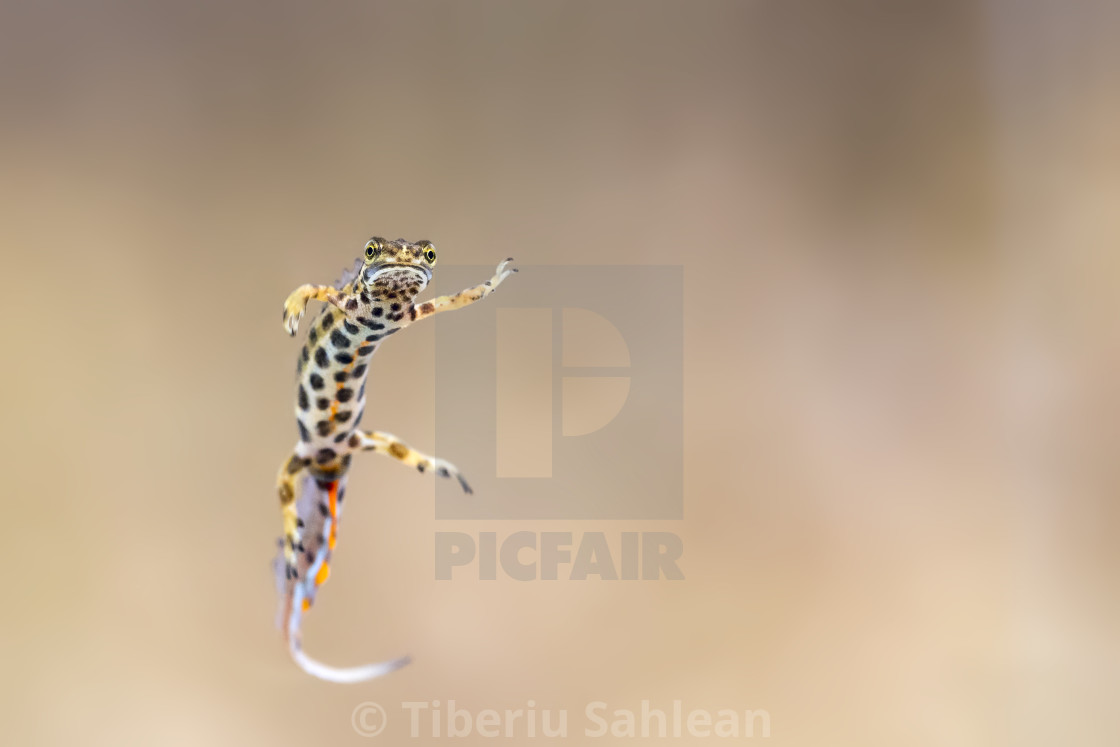 """""""Common newt"""" stock image"""