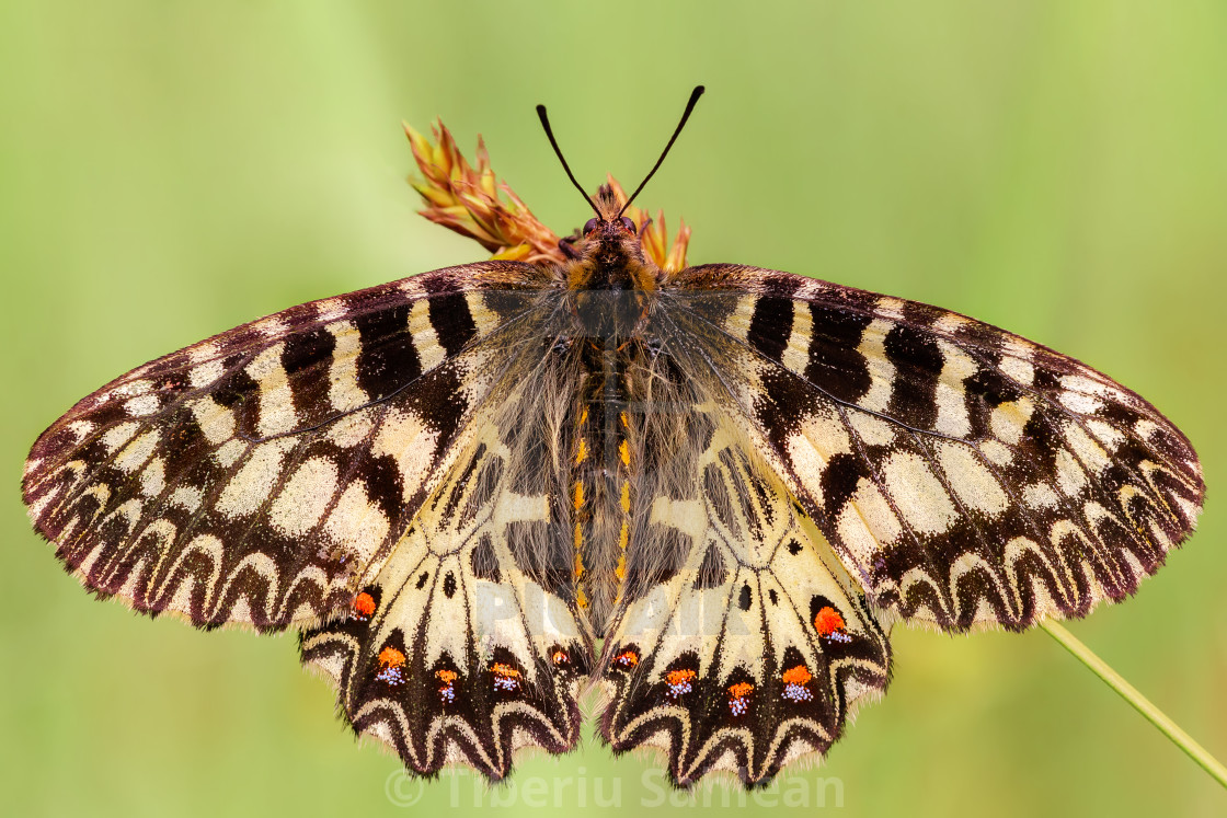 """""""The southern festoon"""" stock image"""
