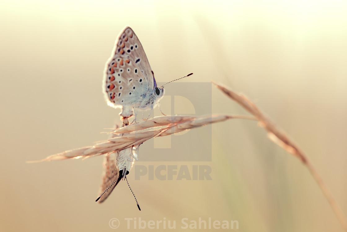 """""""Blue butterflies"""" stock image"""