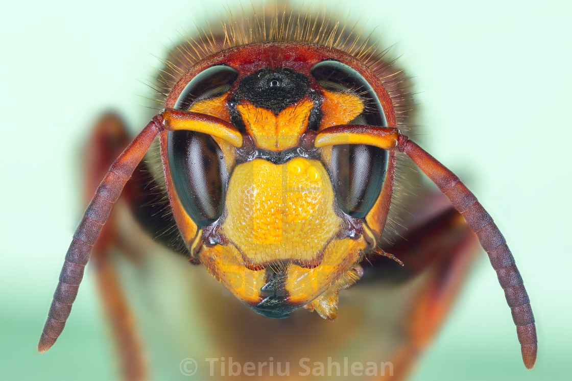 """""""European hornet"""" stock image"""