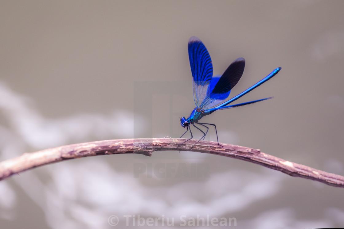 """Calopteryx splendens"" stock image"
