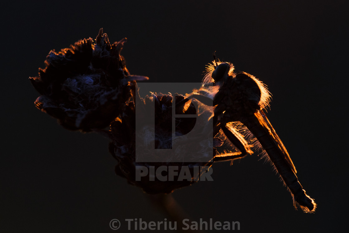 """""""Robber fly"""" stock image"""