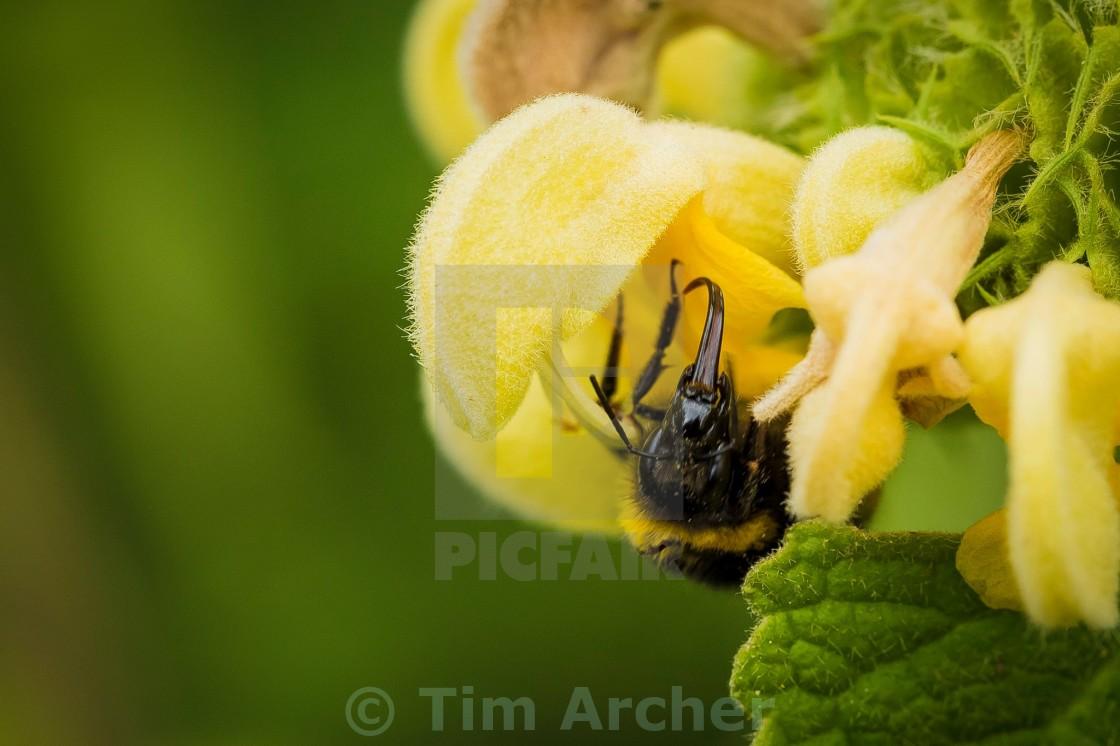 """Bee tongue"" stock image"