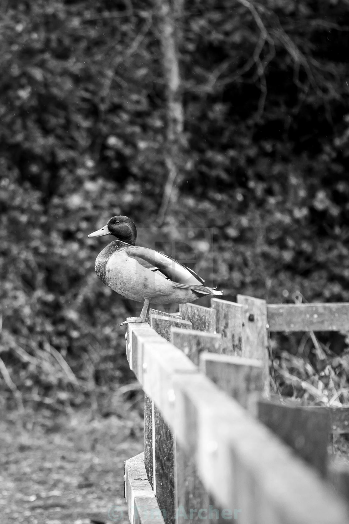 """""""Duck on a fence"""" stock image"""