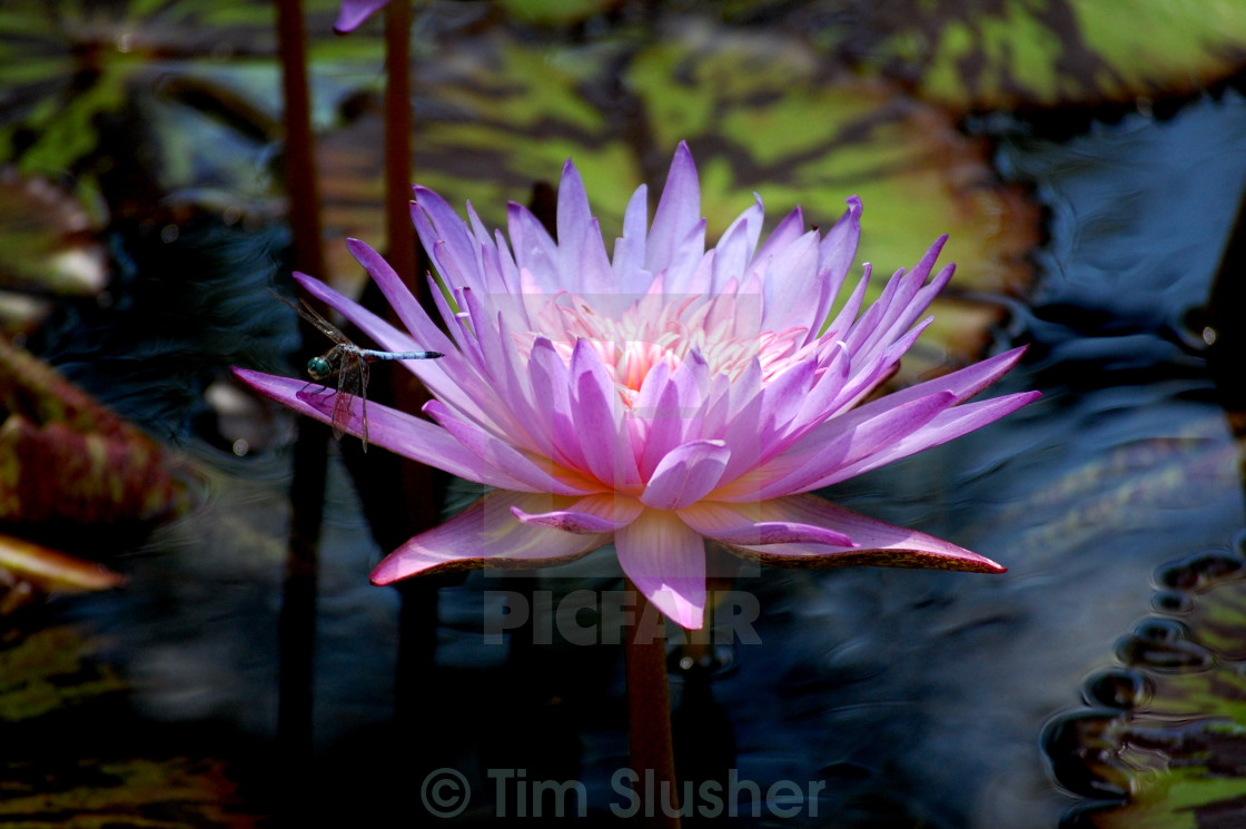 """""""WaterLily and Dragonfly"""" stock image"""