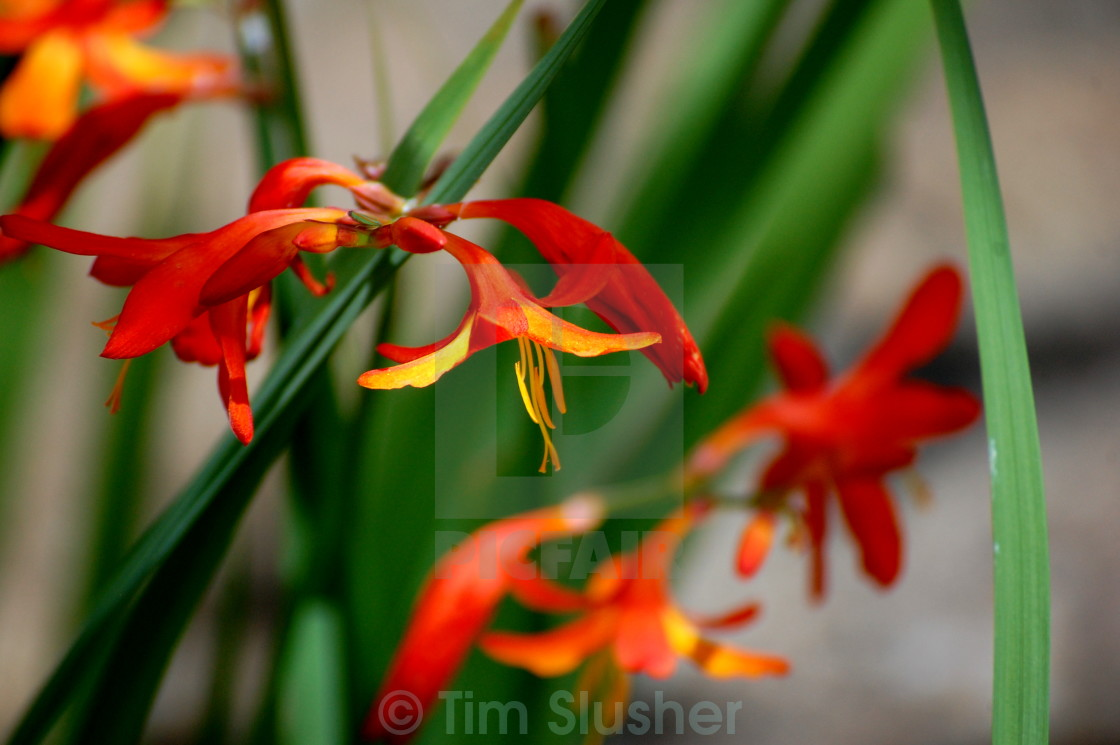 """Dancing Flower"" stock image"