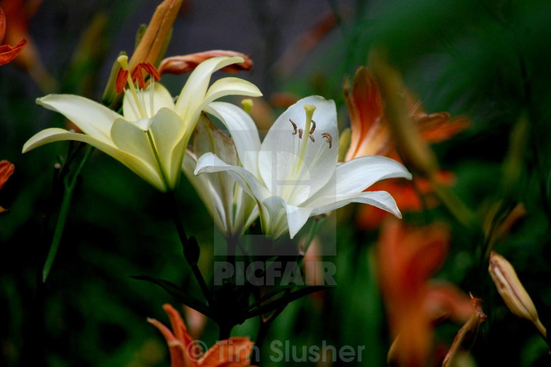 """Lillies"" stock image"