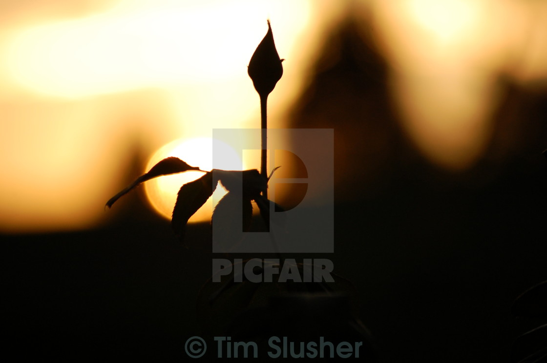 """Rose Silhouette"" stock image"