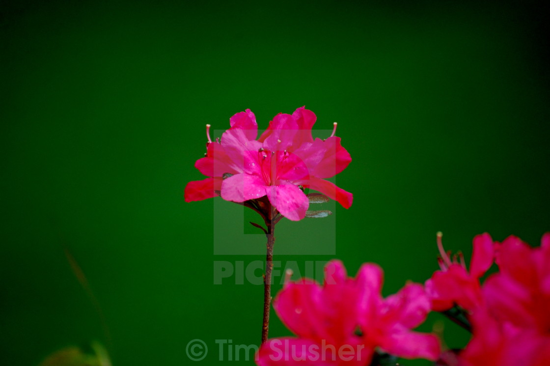 """""""Pink on Green"""" stock image"""