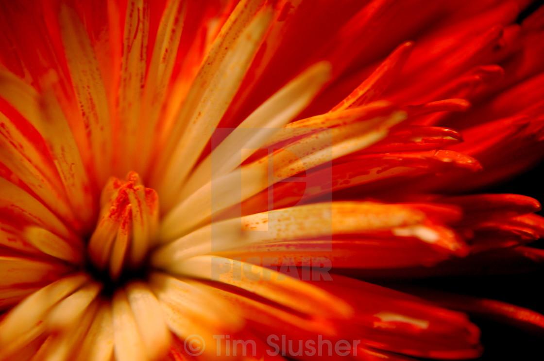 """Flower Macro"" stock image"