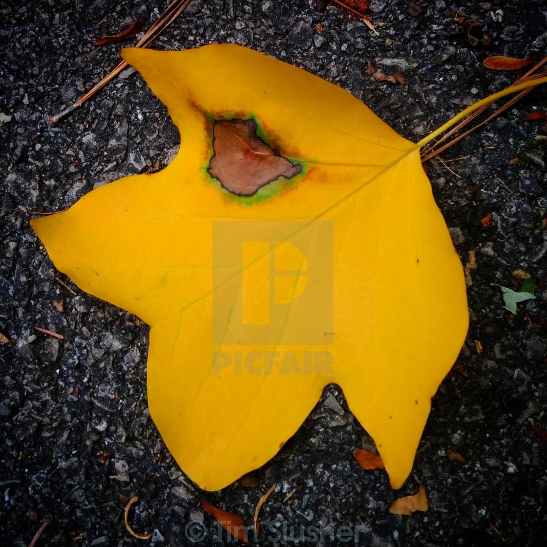 """Yellow Leaf"" stock image"