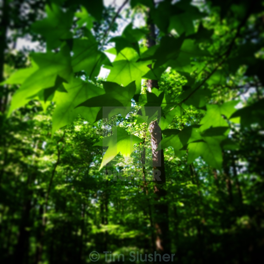 """Leaf Canopy"" stock image"